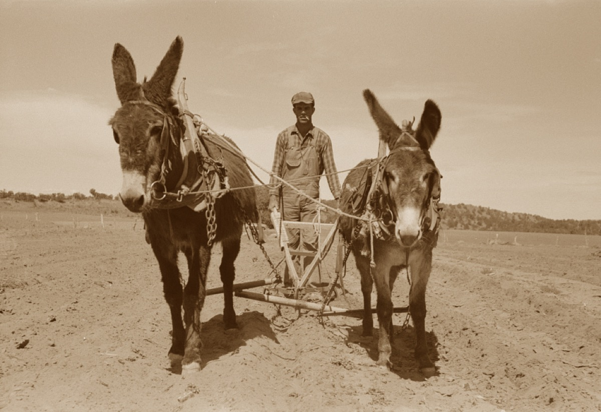 The author out plowing with his mules, Hugo and Tailwind